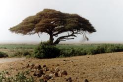 baobab im tsavo park