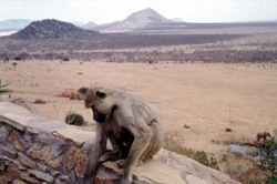 monkey in tsavo